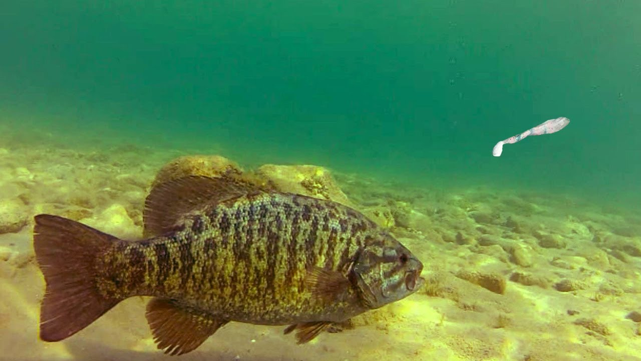 Trophy smallmouth bass fishing on alabama s wilson and for Deep water bass fishing