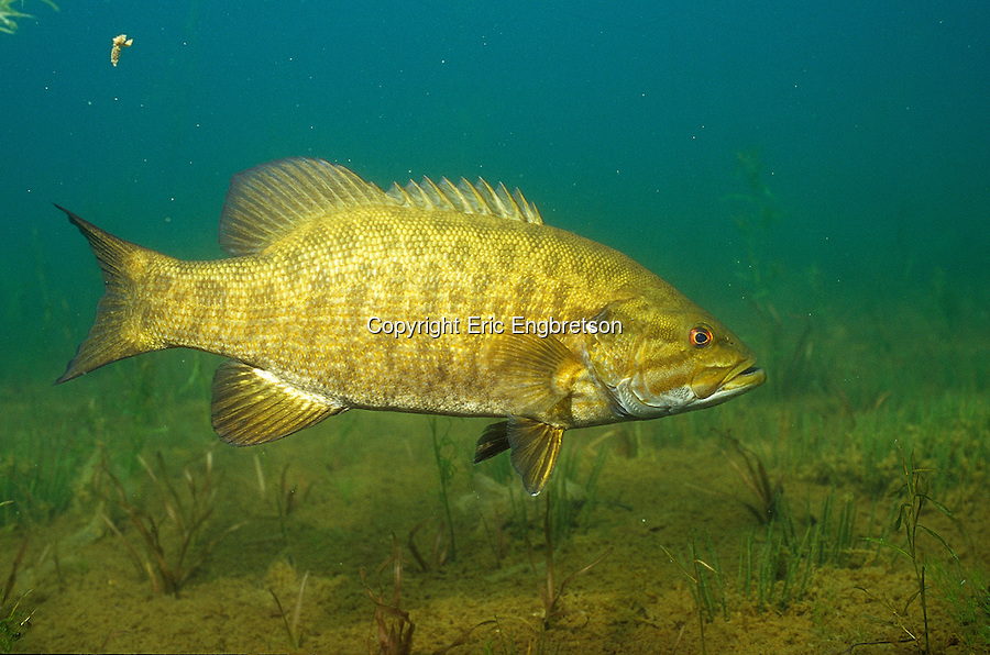 trophy smallmouth bass on alabama�s tennessee river this